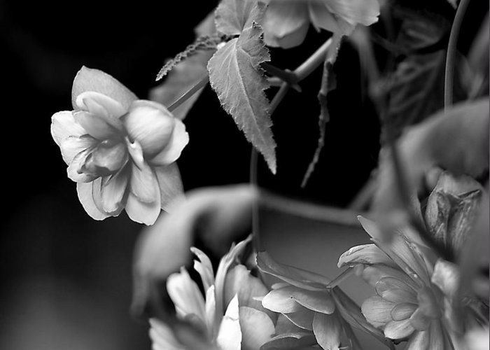 Flowers Greeting Card featuring the photograph Begonias by Pat Carosone