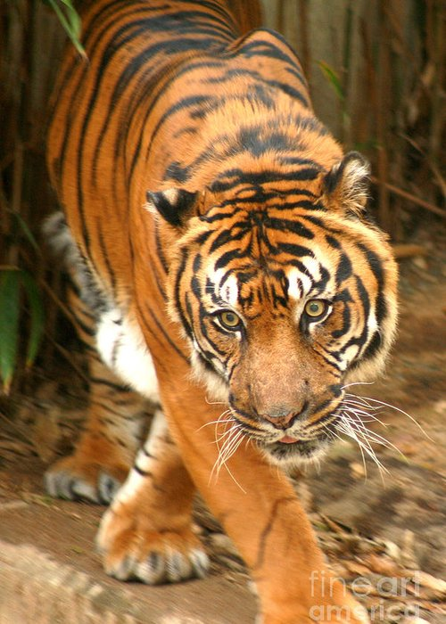 Bengal Greeting Card featuring the photograph Bengal Tiger by Thomas Marchessault