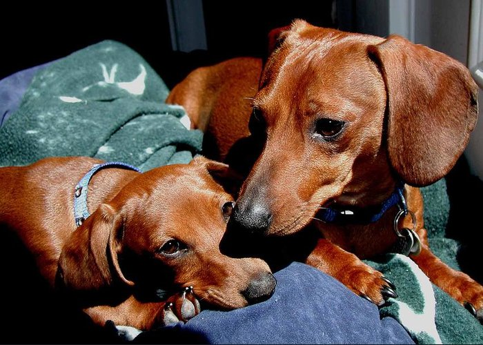 Dachshund Greeting Card featuring the photograph Best Friends by Pringle Teetor