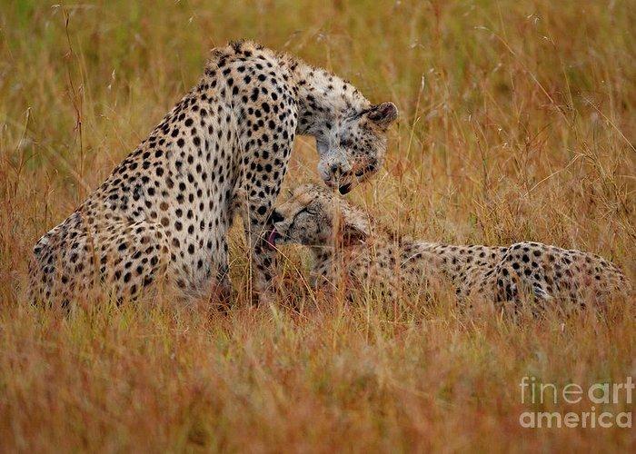 Cheetah Photographs Greeting Cards