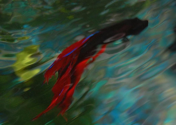 Betta Greeting Card featuring the photograph Betta In The Water by Carla Menjivar
