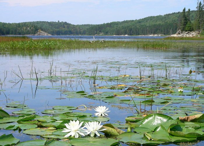 Lake Greeting Card featuring the photograph Beyond The Lilly Pads by Peter McIntosh