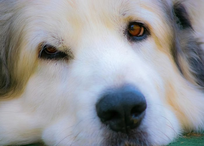 Great Pyrenees Greeting Card featuring the photograph Big Al by JoAnn McDonald