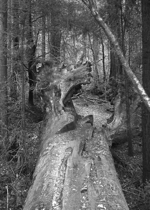 Landscape Greeting Card featuring the photograph Big Basin 2 by Karen W Meyer