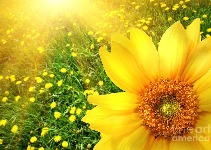 Background Greeting Card featuring the photograph Big Yellow Sunflower by Sandra Cunningham