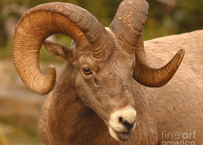 Bighorn Greeting Card featuring the photograph Bighorn Ram With Evident Disdain by Max Allen
