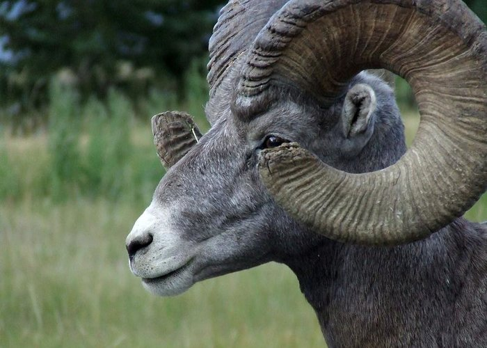 Big Horned Ram Greeting Card featuring the photograph Bighorned Ram by Tiffany Vest