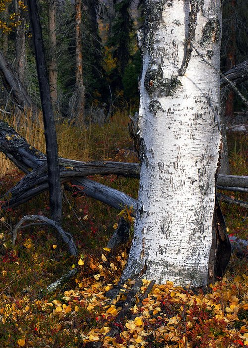 Autumn Greeting Card featuring the photograph Birch Autumn 3 by Ron Day