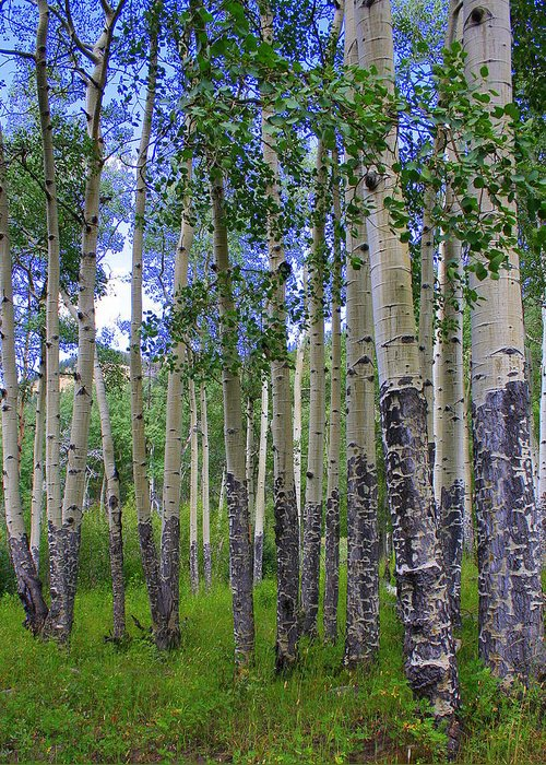 Landscape Greeting Card featuring the photograph Birch Forest by Julie Lueders