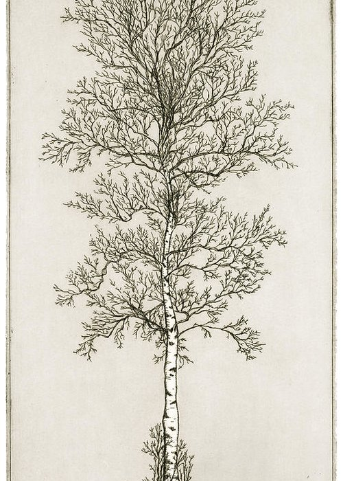 Charles Harden Greeting Card featuring the drawing Birch Tree by Charles Harden