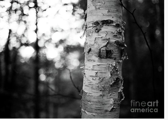 Birch Greeting Card featuring the photograph Birch Tree by Shawn Smith
