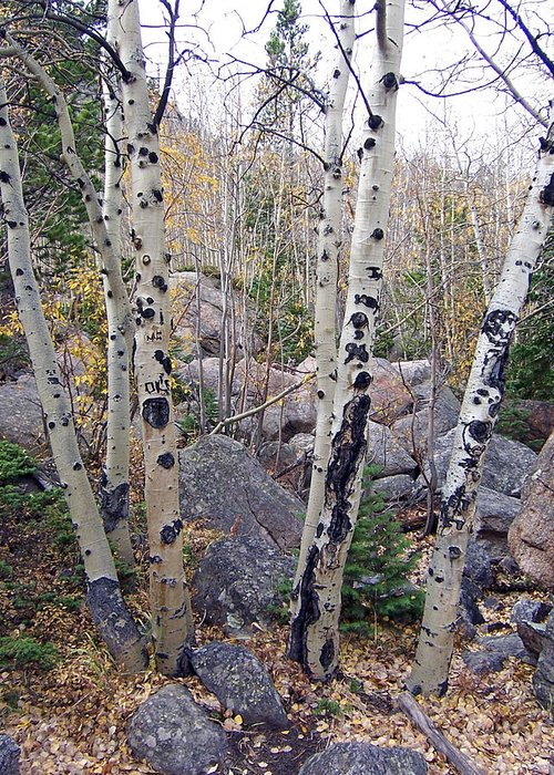 Landscape Greeting Card featuring the photograph Birches In Colorado by Lisa Gabrius