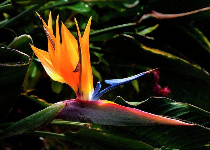 Tropical Bird Of Paradise Flower Kauai Hawaii Greeting Card featuring the photograph Bird Of Paradise Flower by Brian Harig