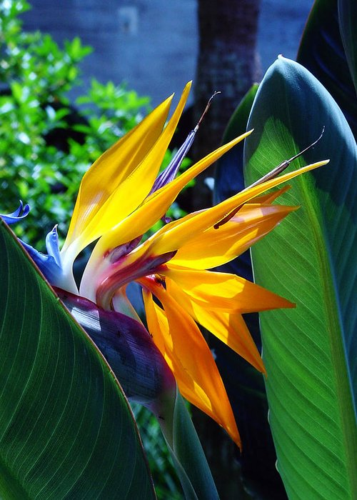 Flowers Greeting Card featuring the photograph Bird Of Paradise by Susanne Van Hulst