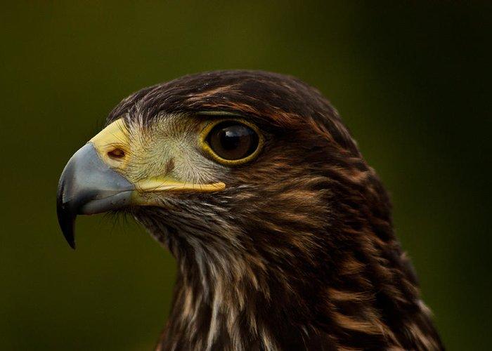 Bird Greeting Card featuring the photograph Bird Of Prey by Dawn OConnor