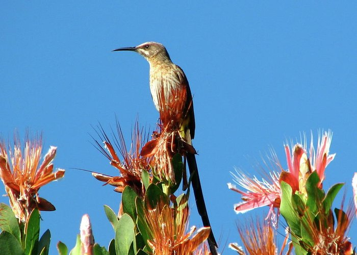 Bird Greeting Card featuring the photograph Bird On Protea by Mary Ivy