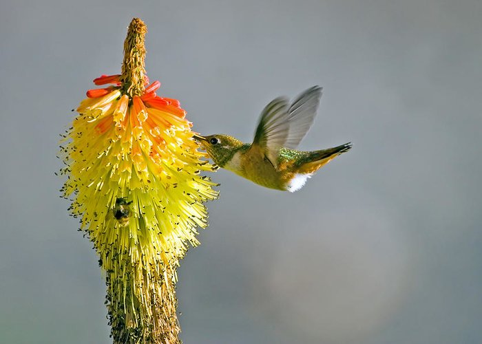 Hummingbird Greeting Card featuring the photograph Birds And Bees by Mike Dawson
