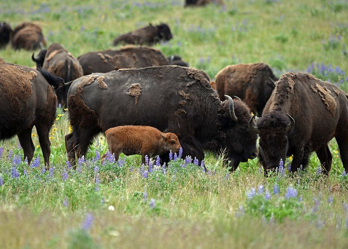 Lupine Greeting Card featuring the photograph Bison And Lupine by Whispering Peaks Photography