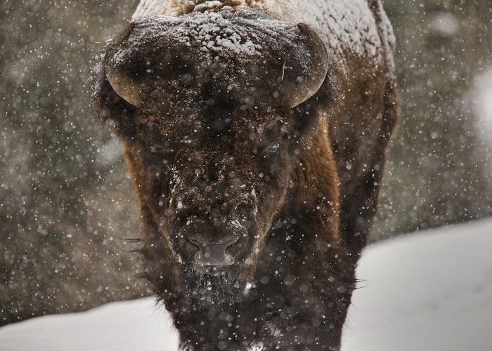 Wildlife Greeting Card featuring the digital art Bison Buffalo Wyoming Yellowstone by Mark Duffy