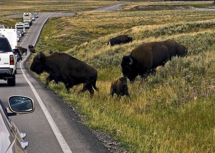 Bison Blocking Road Traffic Greeting Card featuring the photograph Bison Disrupting Traffic by Sally Weigand