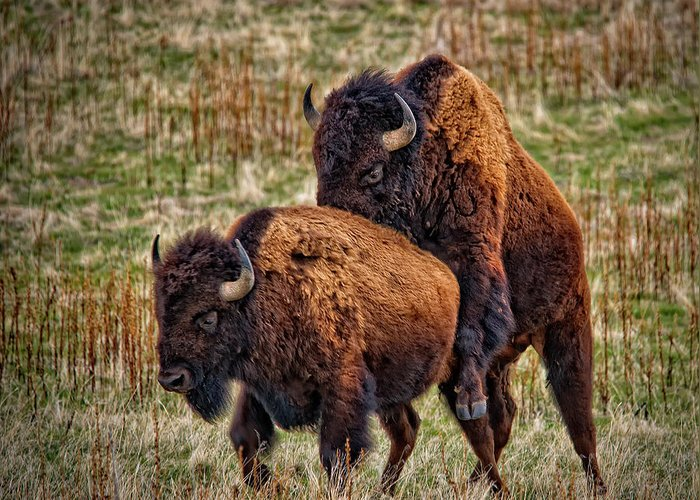 Bison Having Sex Greeting Card featuring the photograph Bison Having Fun by Paul W Sharpe Aka Wizard of Wonders