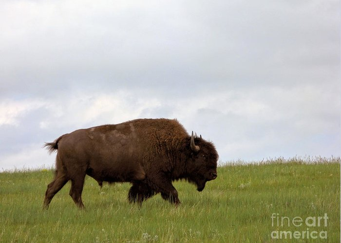 Bison Greeting Card featuring the photograph Bison On The American Prairie by Olivier Le Queinec