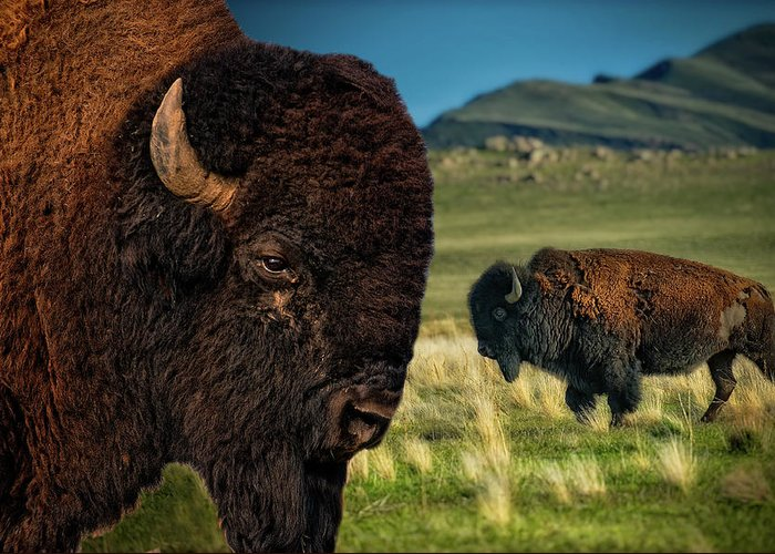 Bison On The Plain Greeting Card featuring the photograph Bison On The Plain by Paul W Sharpe Aka Wizard of Wonders
