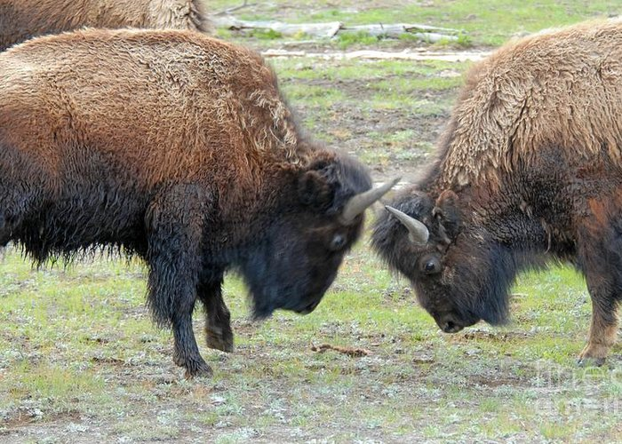 Bison Greeting Card featuring the photograph Bison Standoff by Dennis Hammer