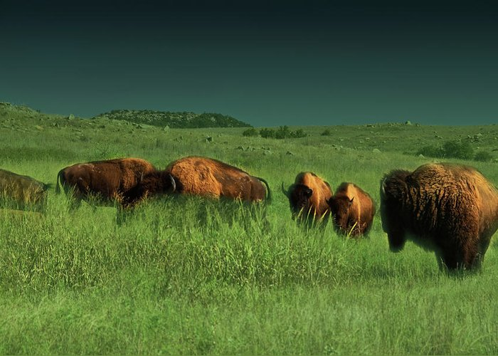 Bisons Greeting Card featuring the photograph Bisons In The Prarie by Iris Greenwell
