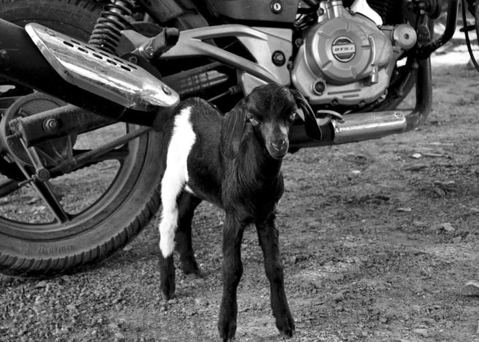 Goat Greeting Card featuring the photograph Black And White by Bliss Of Art