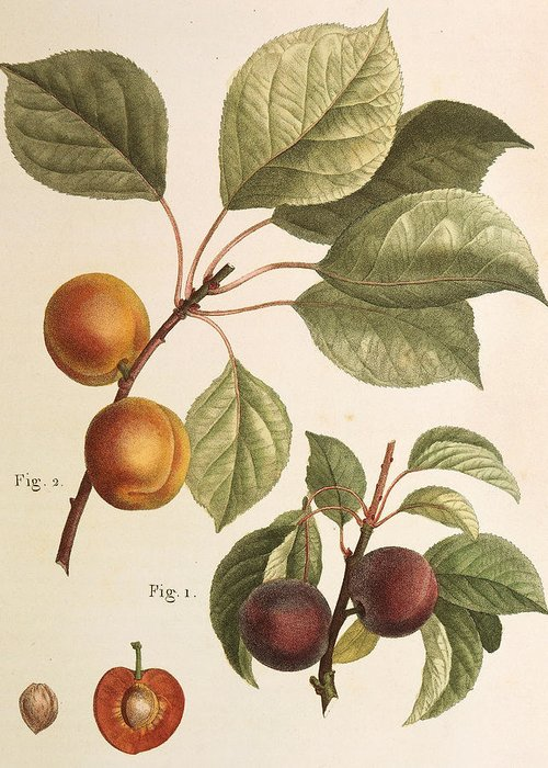 Apricots Drawings Greeting Cards