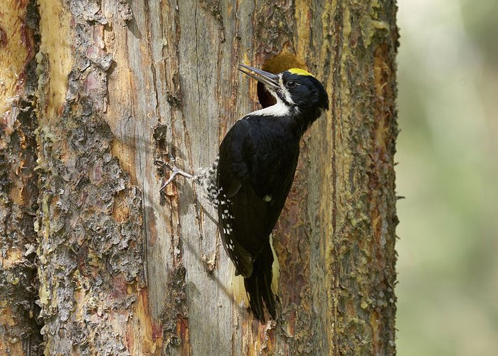 Bird Greeting Card featuring the photograph Black-backed Woodpecker by Doug Herr