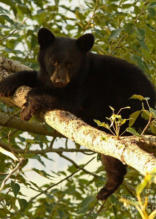 Bear Greeting Card featuring the photograph Black Bear Cub Resting On A Tree Branch by Max Allen