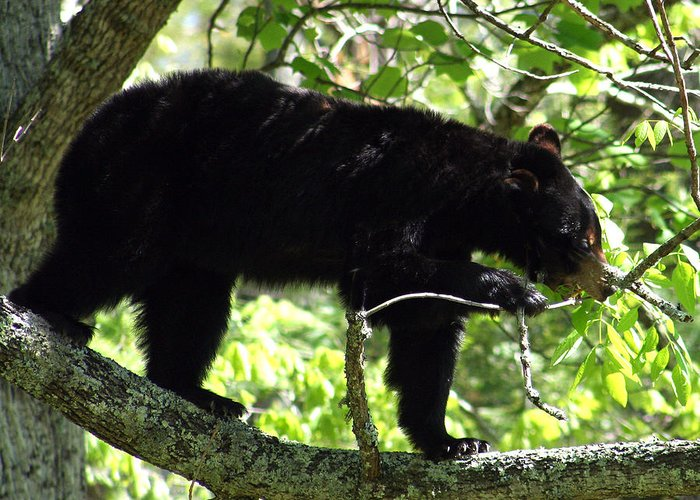Black Bear Greeting Card featuring the photograph Black Beauty by Linda A Waterhouse