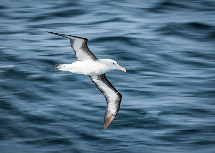 Antarctica Greeting Card featuring the photograph Black-browed Albatross Gliding Over Deep Blue Waves by Ndp
