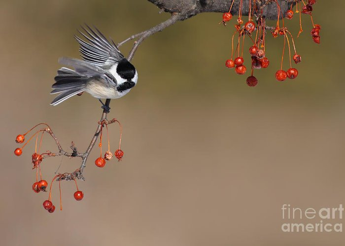 Black-capped Greeting Card featuring the photograph Black-capped Chickadee by Mircea Costina Photography