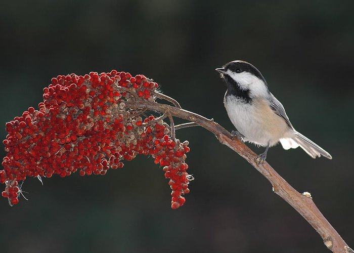 Birds Greeting Card featuring the photograph Black-capped Chickadee by Raju Alagawadi