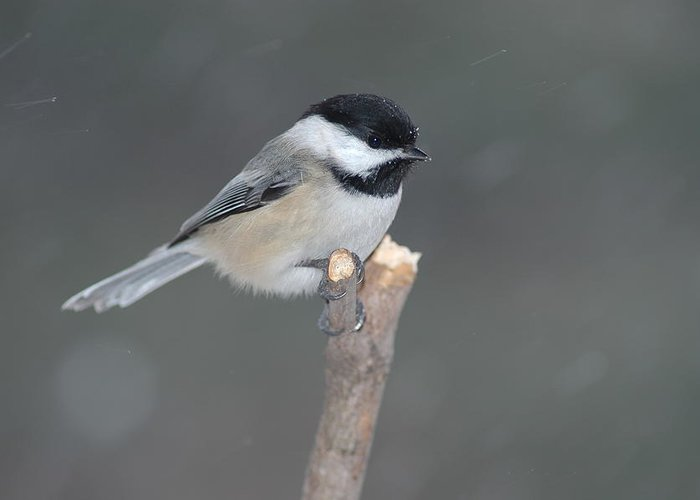 Chickadee Greeting Card featuring the photograph Black-capped Chikadee by Raju Alagawadi