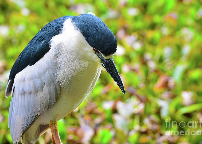 Bird Greeting Card featuring the photograph Black-crowned Night Heron by Spade Photo