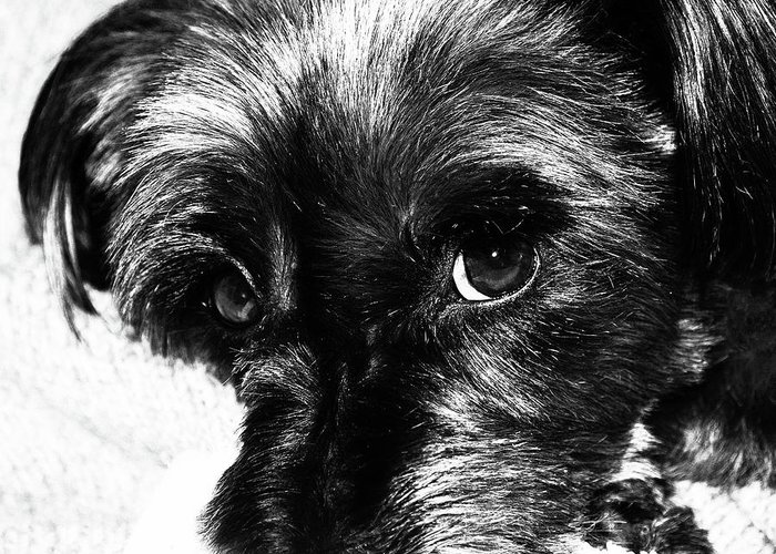 Dog Greeting Card featuring the photograph Black Dog Looking At You by Josephine Cleopahrt
