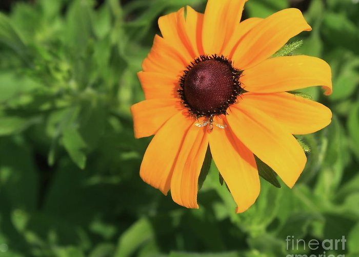 Plant Greeting Card featuring the photograph Black Eyed Susan 2 by Marjorie Imbeau