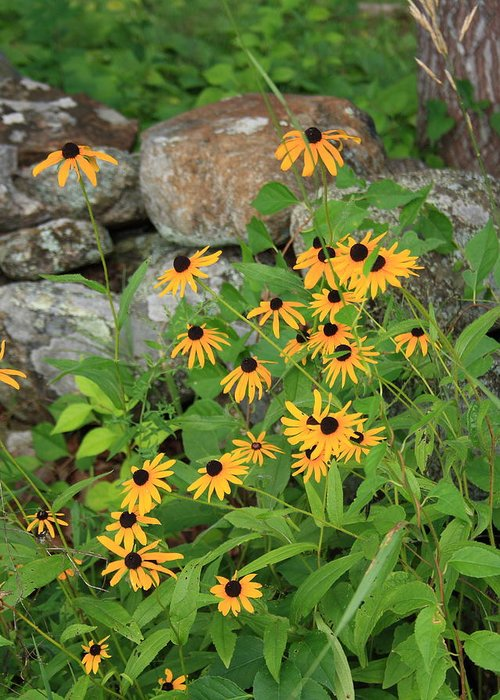 Landscape Greeting Card featuring the photograph Black Eyed Susan by Doug Mills