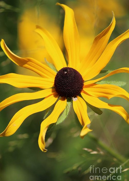 Yellow Greeting Card featuring the photograph Black Eyed Susan In The Sun by Colleen Snow