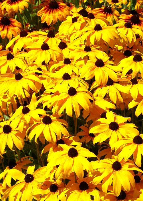 Black Eyed Susans Greeting Card featuring the photograph Black Eyed Susans by Devalyn Marshall