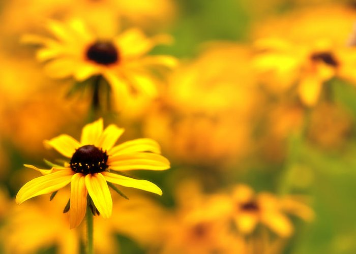 Black Eyed Susans Greeting Card featuring the photograph Black Eyed Susans by Jim Dohms