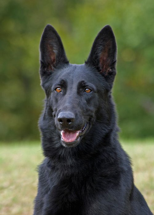 German Shepherd Greeting Card featuring the photograph Black German Shepherd Dog by Sandy Keeton