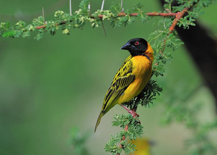 Black-headed Weaver Greeting Card featuring the photograph Black-headed Weaver by Tony Beck