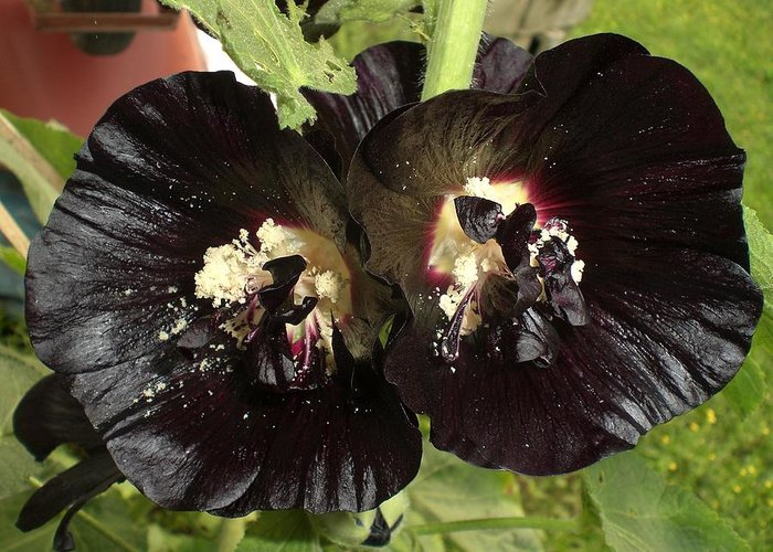 Flower Greeting Card featuring the photograph Black Hollyhock by Wendy Robertson