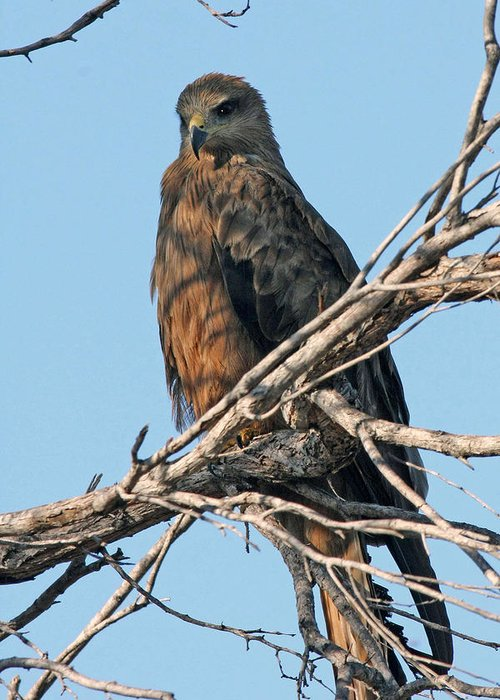 Raptor Greeting Card featuring the photograph Black Kite by Tony Brown