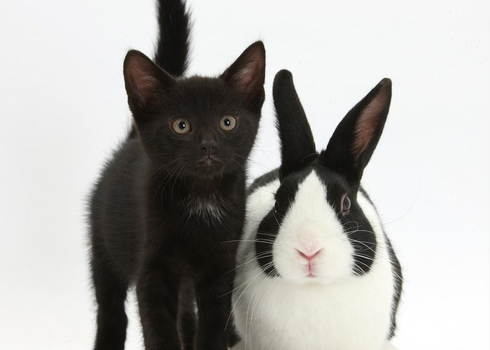 Nature Greeting Card featuring the photograph Black Kitten And Dutch Rabbit by Mark Taylor